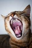 Gato de bostezo imagen de archivo