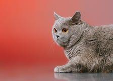 Gato de británicos Shorthair Imagen de archivo