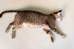 Gato de Brown Imagem de Stock Royalty Free