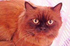 Gato de Brown en la casa Fotografía de archivo
