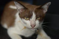 Gato de Brown que mira algo Fotos de archivo