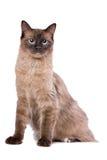 Gato de Brown Ragdoll Foto de archivo