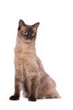 Gato de Brown Ragdoll Fotografía de archivo