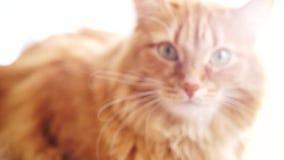 Gato de Brown, Tabby Male Cat roja, Ginger Cat almacen de metraje de vídeo