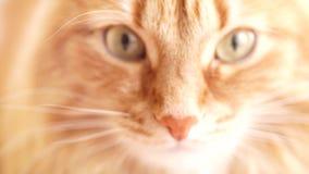 Gato de Brown, Tabby Male Cat roja, Ginger Cat metrajes