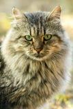 Gato de cabelos compridos Fotografia de Stock Royalty Free