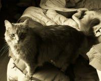Gato de cabelos compridos Foto de Stock Royalty Free
