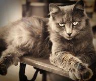 Gato de cabelos compridos cinzento Fotografia de Stock Royalty Free