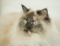 Gato de cabelos compridos com olhos azuis fotografia de stock royalty free