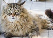 Gato de cabelos compridos maravilhoso da raça siberian Fotos de Stock
