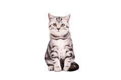 Gato de cabelos curtos britânico Imagem de Stock
