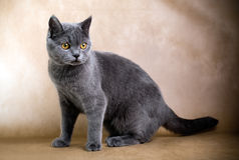 Gato de cabelos curtos britânico Imagens de Stock Royalty Free