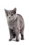 Gato de cabelos curtos britânico Imagem de Stock Royalty Free
