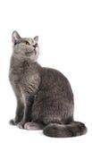Gato de cabelos curtos britânico Foto de Stock Royalty Free