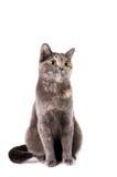 Gato de cabelos curtos britânico Fotografia de Stock Royalty Free