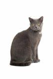 Gato de cabelos curtos britânico cinzento imagem de stock
