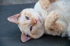 Gato de cabelos curtos doméstico fotografia de stock royalty free