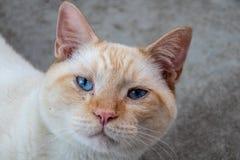 Gato de cabelos curtos doméstico fotografia de stock