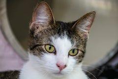 Gato de cabelos curtos doméstico imagem de stock royalty free