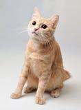 Gato de cabelos curtos vermelho Fotografia de Stock