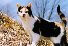 Gato de calicó fotos de archivo libres de regalías