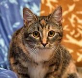 Gato de calicó imagen de archivo libre de regalías
