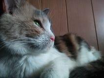 Gato de calicó Foto de archivo libre de regalías