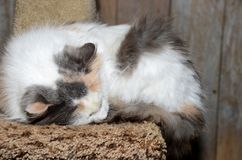 Gato de calicó el dormir Fotos de archivo libres de regalías