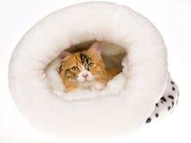 Gato de calicó en cama de la piel en el fondo blanco foto de archivo libre de regalías