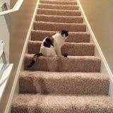 Gato de calicó en las escaleras imagen de archivo