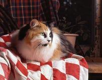 Gato de calicó en una manta Foto de archivo libre de regalías