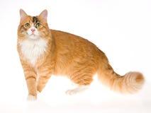 Gato de calicó hermoso en el fondo blanco fotos de archivo