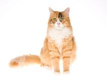 Gato de calicó hermoso en el fondo blanco imagen de archivo