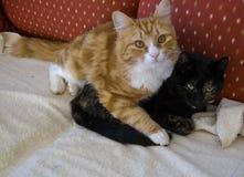 Gato de calicó oscuro de abrazo del vey del jengibre y del gato blanco, con ey verde fotos de archivo libres de regalías