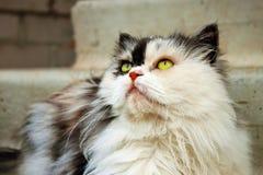 Gato de calicó persa fotos de archivo libres de regalías