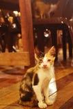 Gato de calicó que mira fijamente la cámara emotionaly Imagenes de archivo