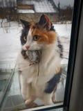 Gato de calicó que sostiene el ratón muerto en la boca El gato trae la presa a p Fotos de archivo libres de regalías
