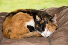 Gato de calicó viejo que duerme pacífico en una cama suave foto de archivo libre de regalías
