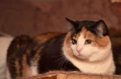 Gato de calicó Fotos de archivo