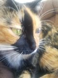 Gato de calic? fotos de archivo