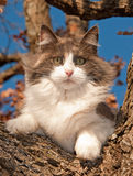 Gato de calicó diluido magnífico para arriba en un árbol Foto de archivo