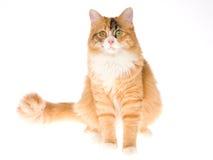 Gato de Calio no fundo branco Imagens de Stock