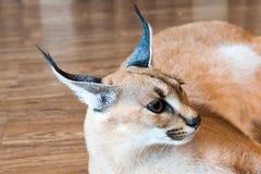 Gato de Caracal, vaquinha isolado de 8 meses no fundo, espaço da cópia fotos de stock