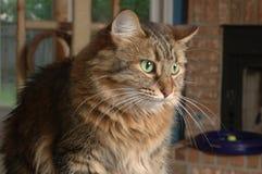 Gato de casa Imagen de archivo libre de regalías