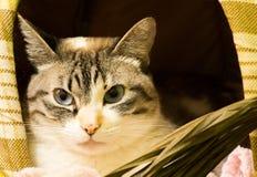 Gato de casa Foto de Stock Royalty Free