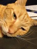 Gato de casa amarillo Imagenes de archivo