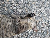 Gato de casa animal de Bengala del ‹de Lovely†imagen de archivo libre de regalías