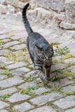 Gato de casa cinzento fora Fotos de Stock