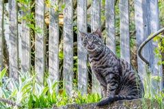 Gato de casa cinzento fora Fotografia de Stock Royalty Free