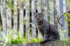 Gato de casa cinzento fora Foto de Stock Royalty Free